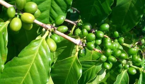 кофе зелёный о вреде